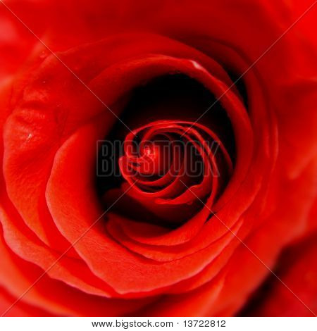 closeup of red rose. Macrophotography.