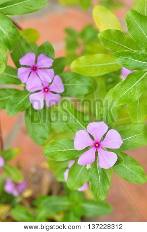 Periwinkle flowers on the street in asia