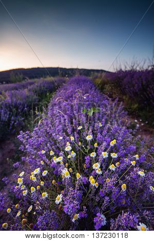 Beautiful Image Of Lavender Field And White Camomiles.