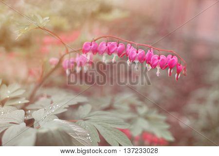 Heart shaped fuschia flowers. Dicentra spectabilis or broken heart in the garden