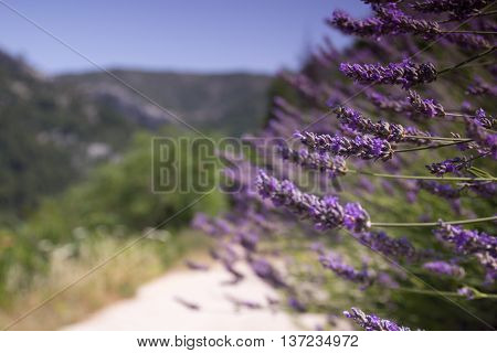 lavender on the road on Hvar island