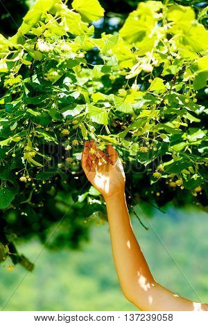 Picking Up The Beautiful Linden Tree Fowers On Bright Summer Day