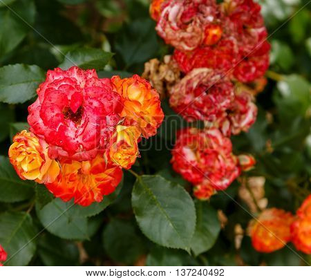 Orange and pink decaying roses in an English garden