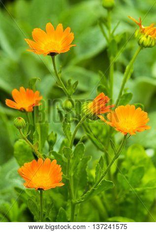 calendula. Blurred summer background with growing flowers calendula. Flower of calendula on blossom