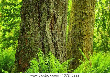 a picture of an exterior Pacific Northwest rainforest of conifer  trees