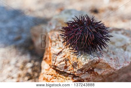 close-up of sea urchin on a marble rock