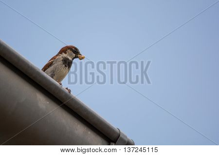 House Sparrow sitting with food in its beak on the gutter