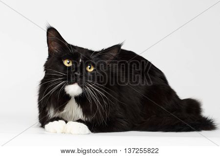 Black Maine Coon Cat with Yellow eyes, Lying and Curious Looking up, on White Background, Front view