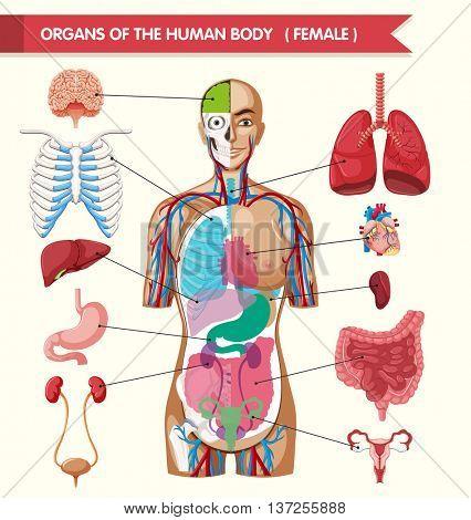 Organs of the human body illustration
