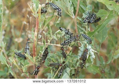 closeup invasive destructive beetles (epicauta erythrocephala) eating and destroying leaves. A garden pest.