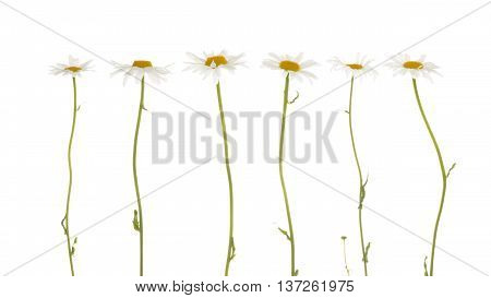 beautiful flowers field of daisies with white soft petals and a bright yellow center on a thin green stalk on a white background isolation