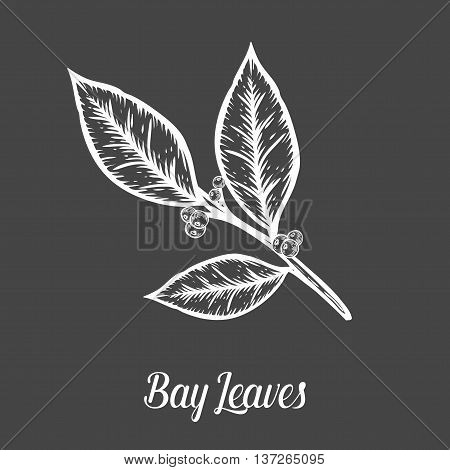 Bay Leaf Laurel Plant Branch Seed. Hand Drawn Sketch Vector Illustration Isolated On Black. Spicy He