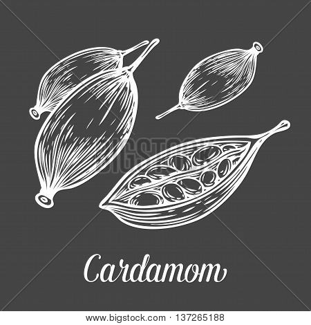 Cardamom Seed Plant . Hand Drawn Sketch Vector Illustration Isolated On Black. Spicy Herbs. Cardamom