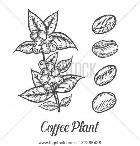 Coffee Plant Branch With Leaf, Berry, Coffee Bean, Fruit, Seed. Natural Organic Caffeine. Green Coff