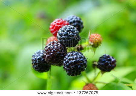 black raspberry with a lot of berries on the bush