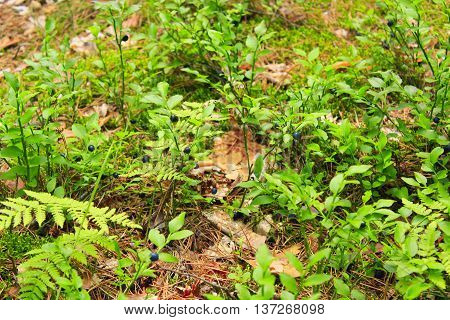 green bush with bilberry in the forest