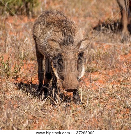 Closeup of a lone Warthog in Southern Africa