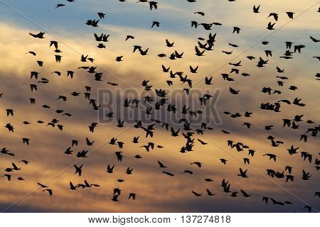 Millions of starlings flying in a bright sky background, silhouettes, birds flying