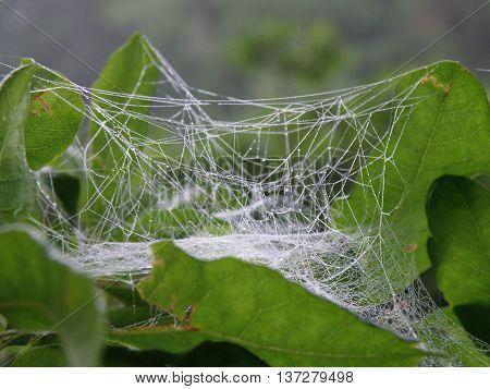 Cocoon of gossamer thread enveloping a leaf in a web.