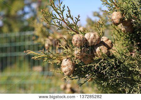 Ripe Round Cypress Cones On Tree