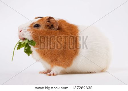 guinea-pig is eating verdure on the light background