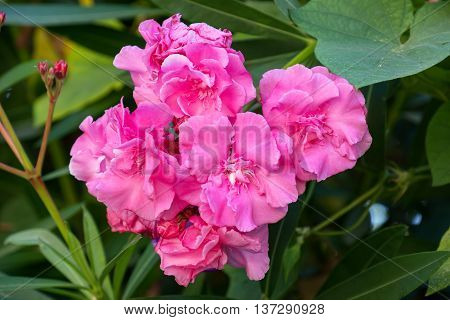 Close-up of the flowers of a pink oleander. Rhodes Greece