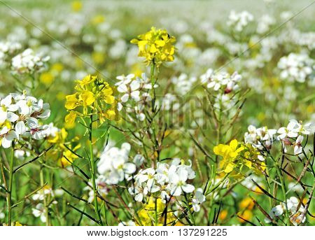 Spring meadow with sunlight and white and yellow flowers with selective focus and copy space. Nature background in springtime.