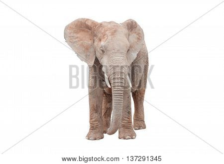 A young adult female African Elephant Loxodonta africana isolated on white