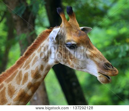 side view of giraffe head with protruding lips, zoo near Songkhla, Thailand