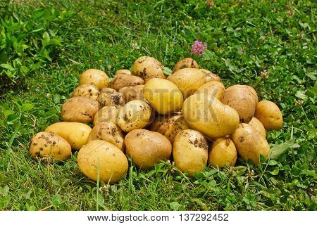 Organic new potatoes on green grass background