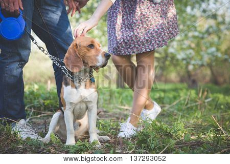 Close-up of a dog. Woman and man with their nice dog in the park. summer walk with a dog. Beagle breed dog sitting in rack on a tight leash on green grass.