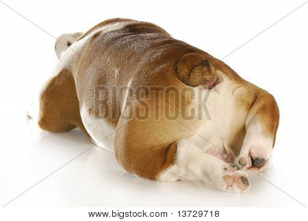 Dog Bum