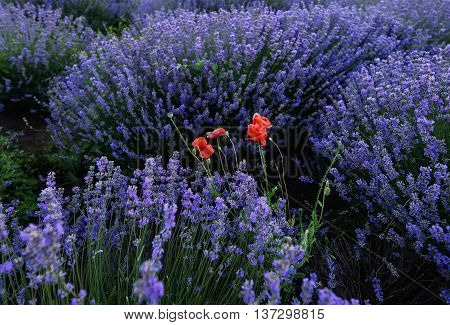 Photo of red poppy and purple flowers in a lavender field in bloom at sunset moldova
