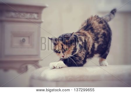 Multi-colored domestic cat with white paws sharpens claws.