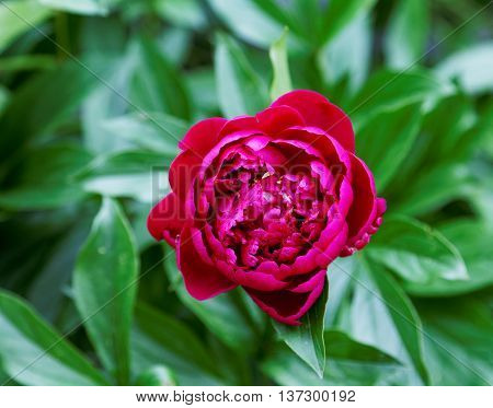 Burgundy Peony Flower On A Background Of Green Leaves
