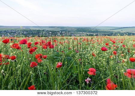 Beautiful landscape with poppy flowers filed at sun set in moldova near a village.