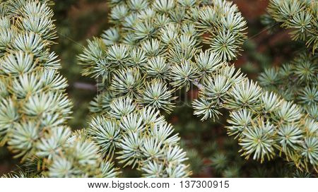 Decorative branch ate with small greenish- blue needles close up