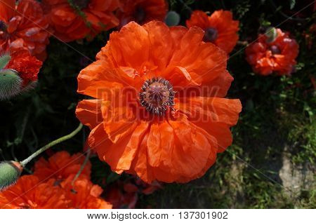 poppy flower with large red petals and stamens on black background of green grass and flowers
