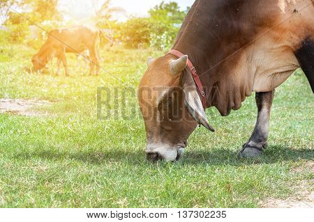 white thai cow in green, Family Cow in green field which traditional cow in urban, Cow in green field on sunset.