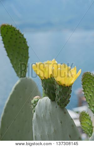 Opuntia Cactus With Two Yellow Blossoms