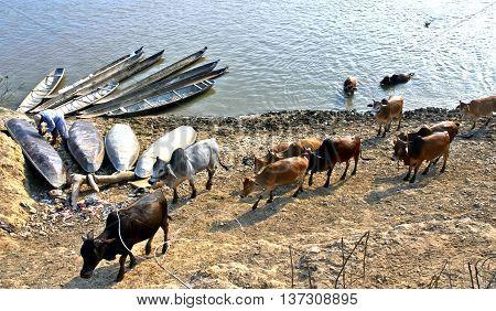 KON TUM, VIET NAM, May 12, 2016: cows crossing Dak Bla, countryside, Kon Tum, Vietnam
