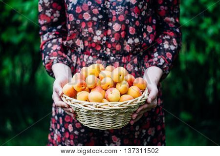 Organic apricots in a Basket outdoor. Sumer concept