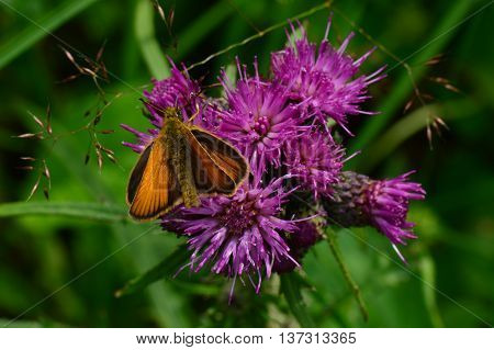 Wild vegetation weed thistle beautiful butterfly on a purple flower