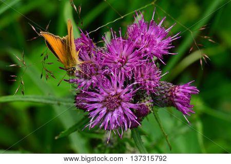 Wildlife summer butterfly on a purple wild flower