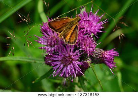 Butterfly on a purple flower of burdock summer morning