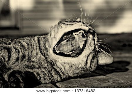 black and white striped tabby cat big yawn sleepy feline