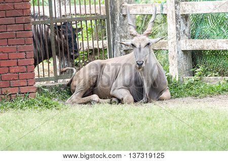 Eland Antelope - Largest Antelope