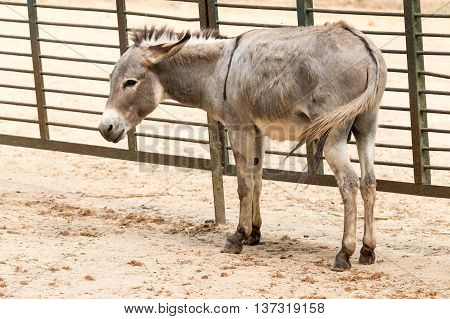 Young Big Donkey