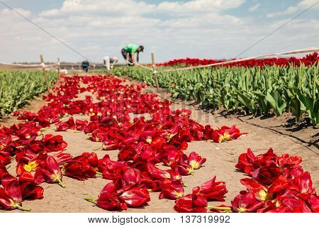 Farmers work on tulip field. Tulip field with farmers. Tulip bulb field with red flowers on soil after harvest.