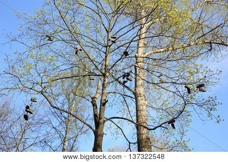 Tall trees with abandoned shoes on the branches in spring